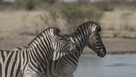 Thumbnail for Zebras Fighting Biting and Running