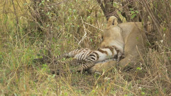 Thumbnail for Lioness feeding on a zebra carcass