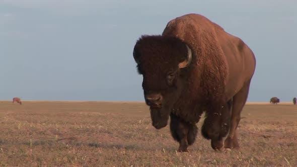 Thumbnail for Bison Bull Adult Herd Many Walking Moving in Summer in South Dakota