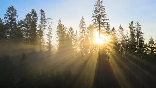 Dark green pine trees in moody spruce forest with sunrise light rays shining through branches