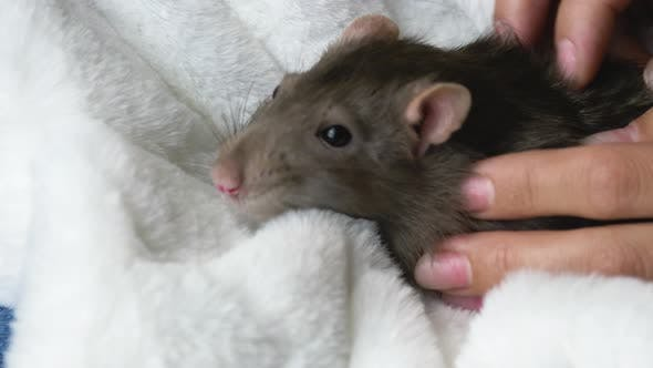 Thumbnail for Beautiful Rat in Female Hands