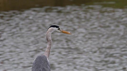 Thumbnail for Grey Heron (Ardea Cinerea) Close-Up