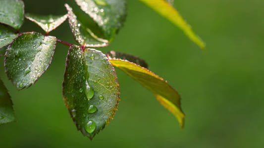 Thumbnail for Dew Drops On The Leaves Of Roses 1
