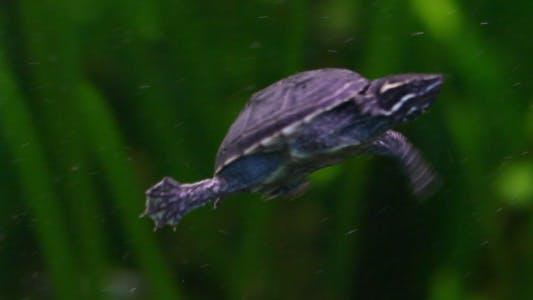 Thumbnail for Rare Turtle 2