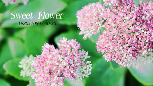 Cover Image for Sweet Flowers