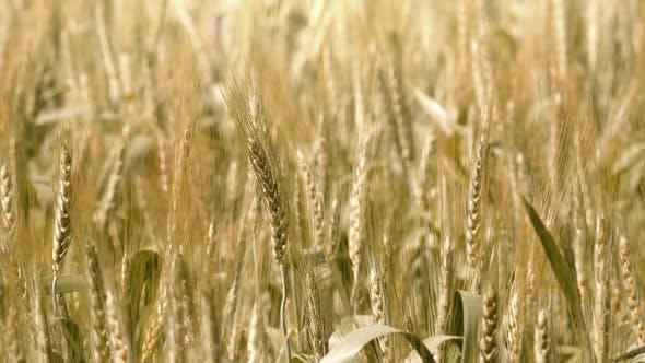 Thumbnail for Barley Field