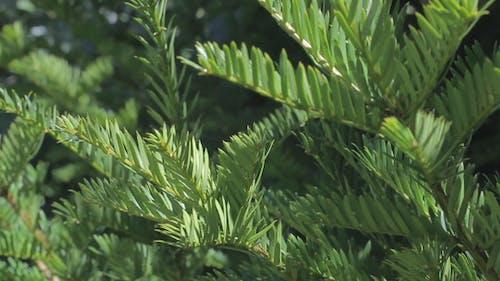 Fir Tree 01
