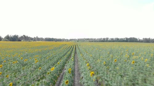 Sunflower agriculture field. Drone flying over field with sunflowers