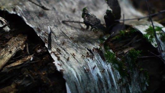 Thumbnail for Ants In Rotten Stump
