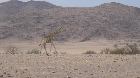 Thumbnail for Lonely giraffe walks on the dry savanna