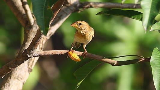 Weaver Bird Breakfast 2