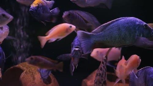 Aquarium With Colorful Fish Cichlids