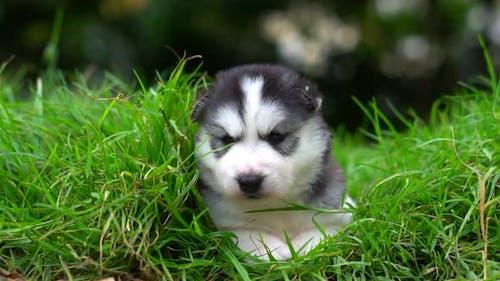 Cute Siberian Husky Puppy Lying On Green Grass