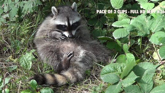 Thumbnail for Common Raccoon III - Pack of 2