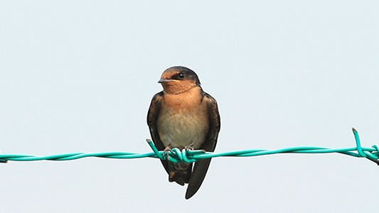 Swallow on The Fence