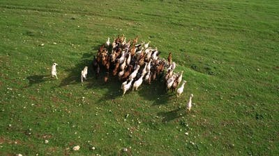 Herd of Goats Running