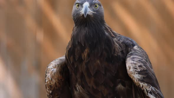 Cover Image for Golden Eagle looking around