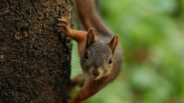 Slow Motion of a Curious Red Squirrel on a Tree Trunk