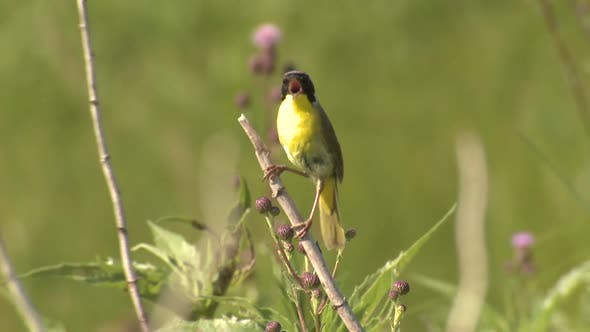 Thumbnail for Common Yellowthroat Male Bird or Songbird Perched in Tallgrass Prairie Grassland