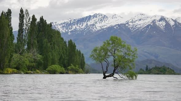 Wanaka-Baum mit der Kiefer