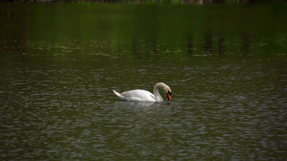 A Lone Swan Swims on the Lake and Searches for Food