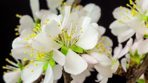 Almond Blossom Timelapse