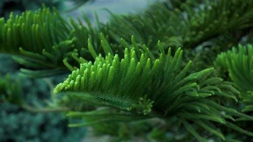 Norfolk pine branch close up. Araucaria heterophylla green leaves background.