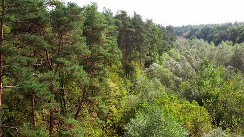 Pine trees and deciduous forest