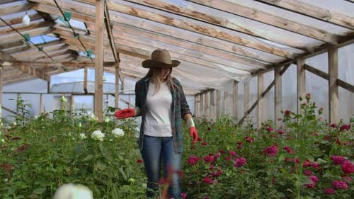 A Young Woman Florist Walks Through a Greenhouse Caring for Roses in a Greenhouse Examining and