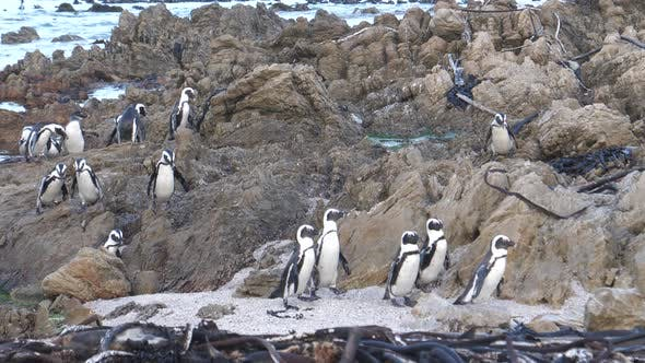 Thumbnail for Penguin waddle walking on the rocks of Betty's Bay