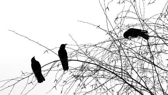 Thumbnail for Three Black Birds On Tree