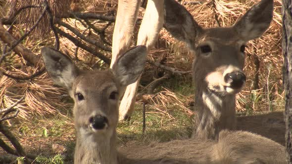 Thumbnail for White-tailed Deer Doe Female Adult Immature Pair Chewing Ruminating Cud in Spring