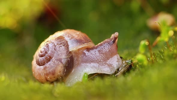 Thumbnail for Closeup Wildlife of a Snail in Heavy Rain in the Sunset Sunlight