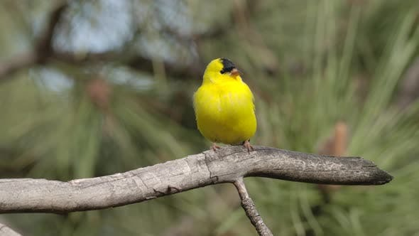 Thumbnail for Goldfinch Male Adult Lone Perched Flying in Spring in South Dakota