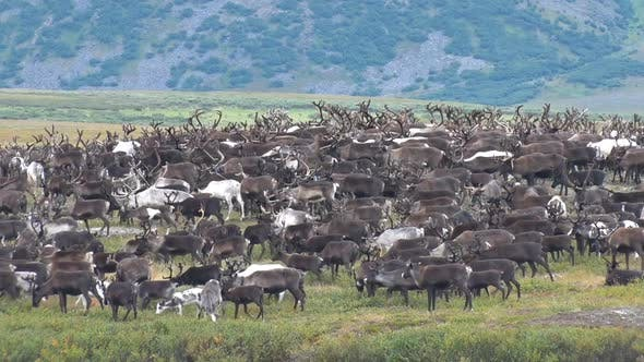 Cover Image for Herd Of Reindeer Grazing In Tundra