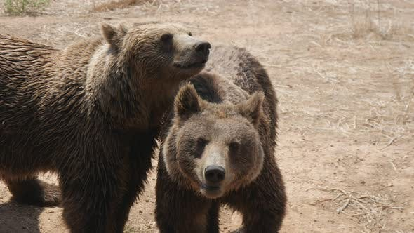 Thumbnail for Two Brown Bears Are Standing and Playing Together on a Sandy Beach in Summer