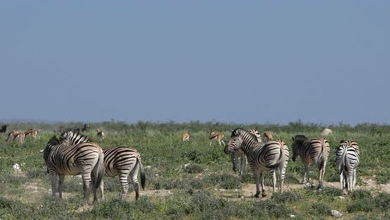 Thumbnail for Zebra in bush, Namibia Africa wildlife