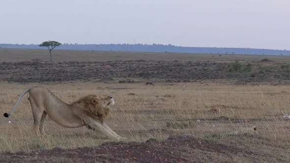 Thumbnail for Lions resting on the savanna