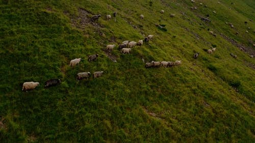 Aerial Drone View. Free Range Flock of Sheep on a Mountain Pasture