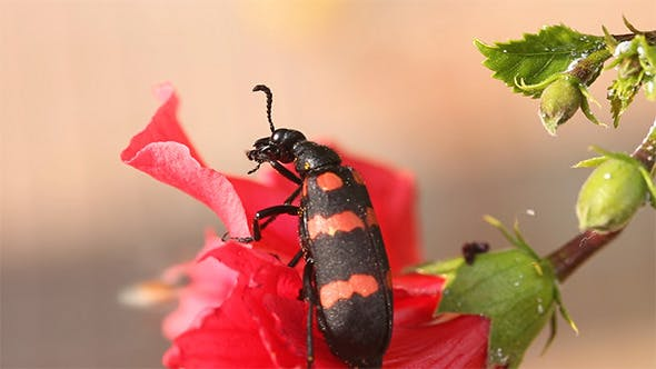 Thumbnail for Black And Red Striped Beetle