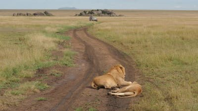Lions on the road with safari car in background