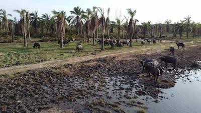 Group of buffaloes grazing grass
