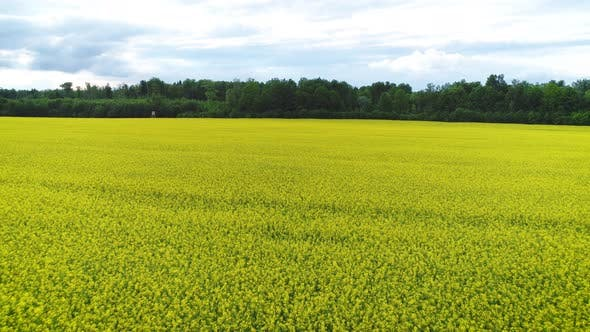 Thumbnail for Yellow Oilseed Rape Field Panorama