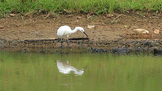 Cover Image for Little Egret (Egretta garzetta) Fishing