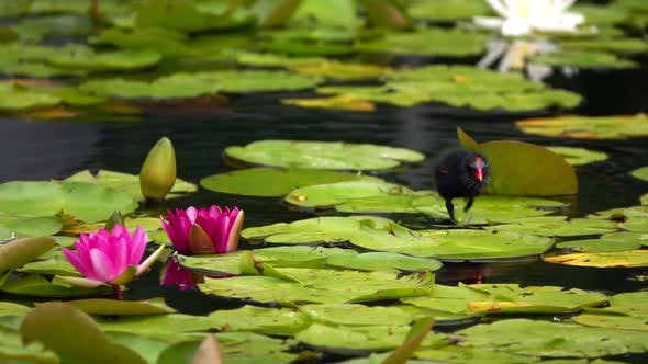 Thumbnail for Lotus Flowers And Leaves On Water And Duck 9