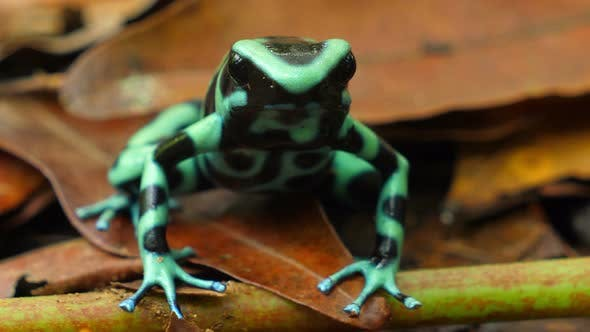 Green and Black Poison Dart Frog in its Natural Habitat in the Caribbean