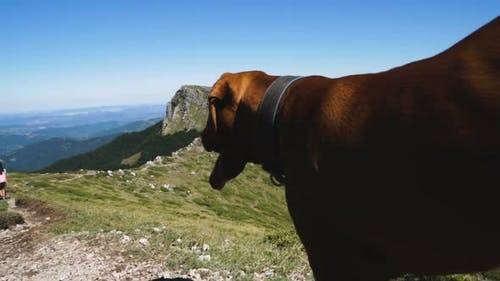 Close Shot of Hungarian Vizsla Dog Watching Group of Hikers Against Beautiful Green Hills Background