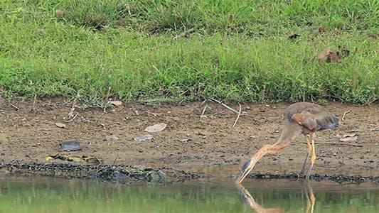 Thumbnail for Purple Heron (Ardea Purpurea) 2