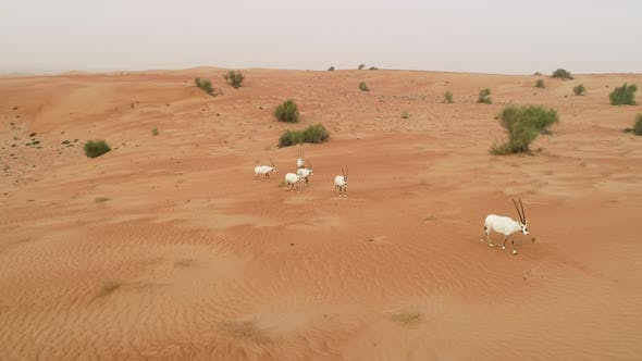 Aerial view of group of goats walking on desert landscape, Abu Dhabi, U.A.E