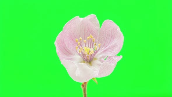Quince Flower 9
